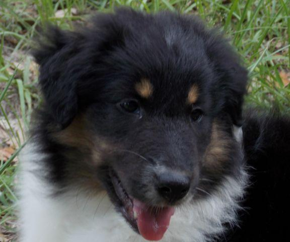 Aussiollie Puppy Female Austalian Shepherd - Collie
