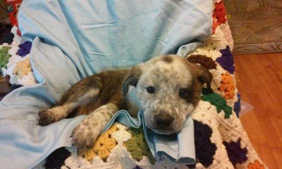 Pit Bull Mastiff Mix Puppies Classifieds Buy Sell Pit Bull