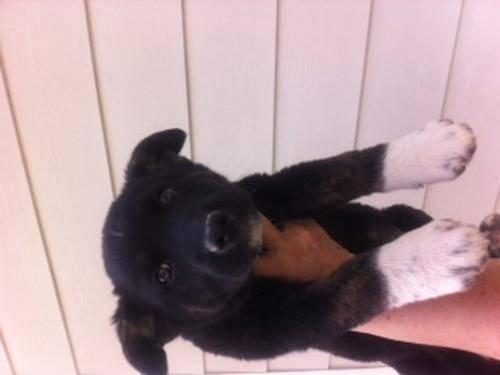 Australian Cattle Dog (Blue Heeler for sale in Chino Hills, California