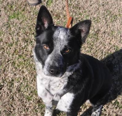 Australian Cattle Dog Blue Heeler Chief Medium Young For Sale In Dickel Tennessee
