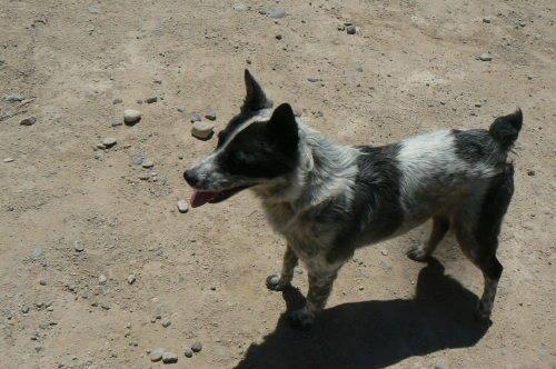 Tucson Cattle Dog Rescue