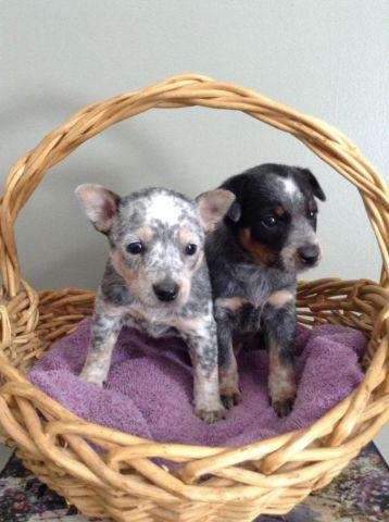 Australian Cattle Dog - Blue Heeler female puppy