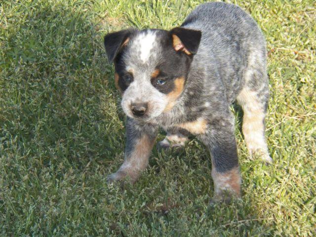Blue Heelers For Sale : Blue heeler puppies classifieds buy & sell blue heeler puppies