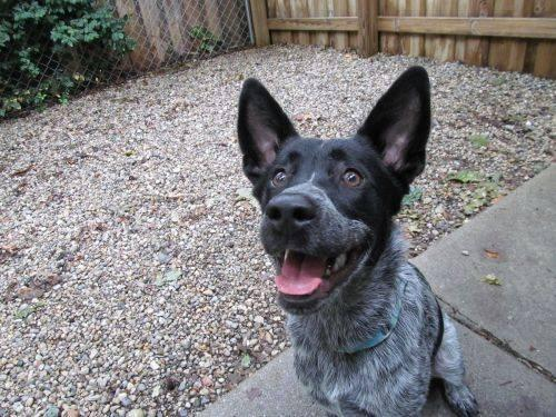 Australian Cattle Dog (Blue Heeler) - Sirius - Small ...
