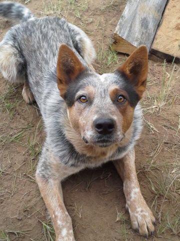 Australian Cattle Dog puppies (Blue heeler) for Sale in Edwall, Washington Classified ...