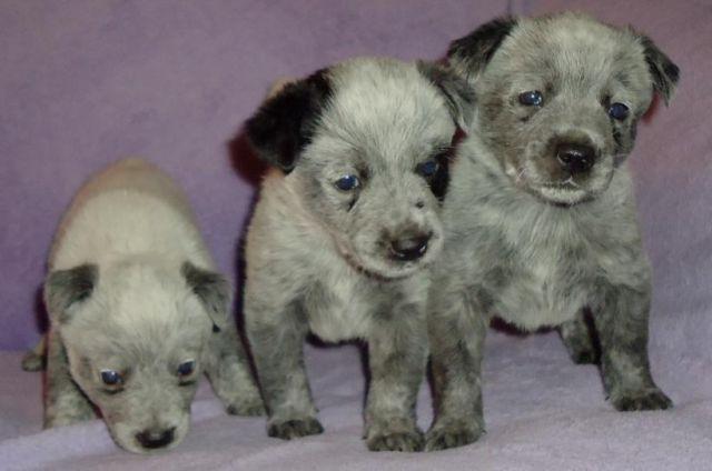 Blue Heelers For Sale : Australian cattle dog puppies blue heelers for sale in cherry