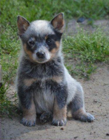 Australian Cattle Dog Puppy Blue Heeler Male Ckc For