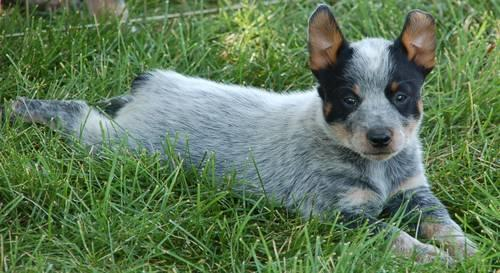 Australian Cattle Dog Puppy With Floppy Ear Blue Heeler Photo By Adrianajaworska
