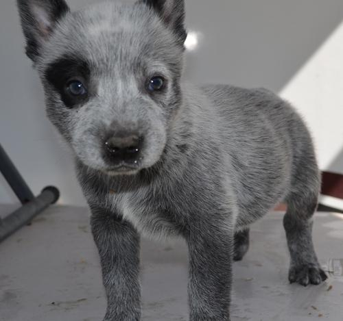 Australian Cattle Dog Puppy for Sale - Adoption, Rescue