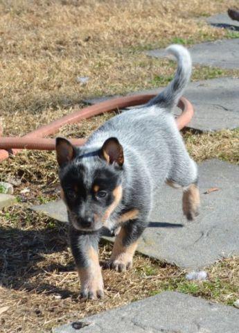 Nissan Virginia Beach >> Australian Cattle Puppies (Blue Tick Heelers) for Sale in ...
