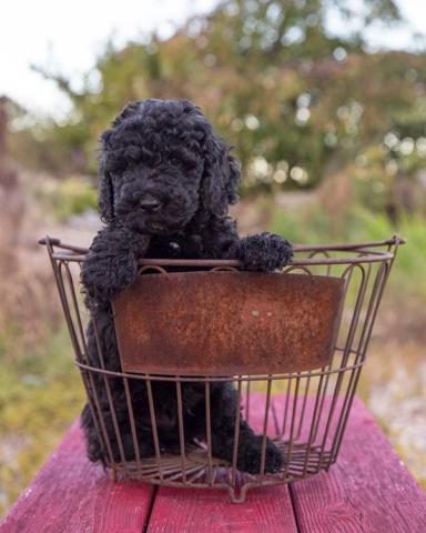 Australian Labradoodle Male Puppies