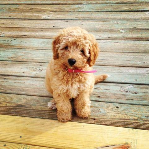 Australian Labradoodle Puppies For Sale In Maumee Ohio Classified