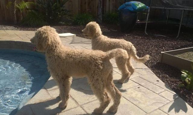 Australian Multigenerational Labradoodle Females for Sale in