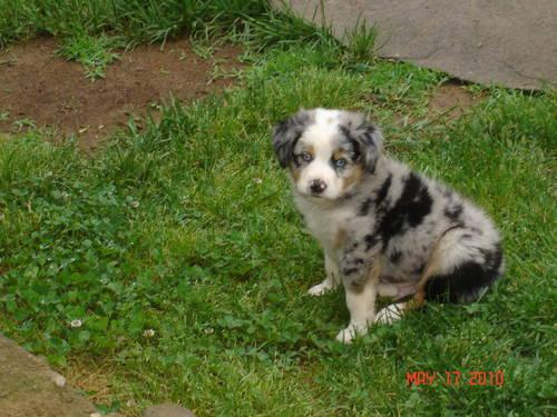 Australian Shepherd Breeder For Sale In Elkin North Carolina