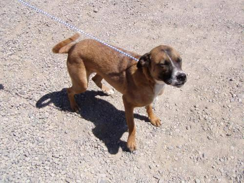 adult boxer dog for sale colorado jpg 422x640