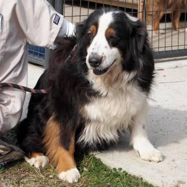 Australian Shepherd - Kennedy - Large - Baby - Female -