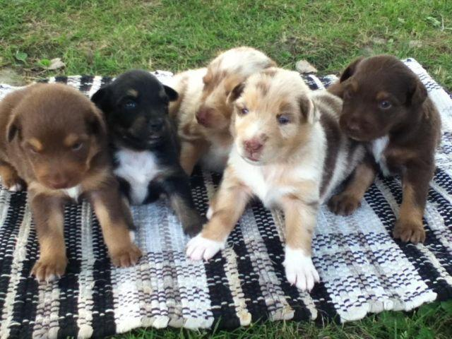 australian shepherd puppies ohio