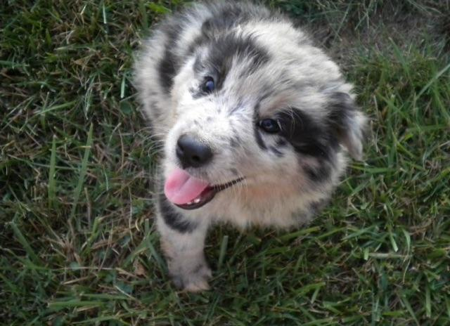 Australian shepherd puppies for sale in angier north carolina