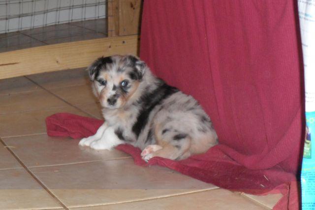 Australian Shepherd Puppies For Sale For Sale In Creedmoor North