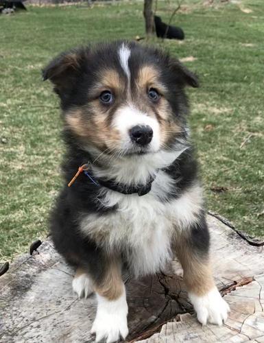 Australian Shepherd Puppies For Sale In Michigan