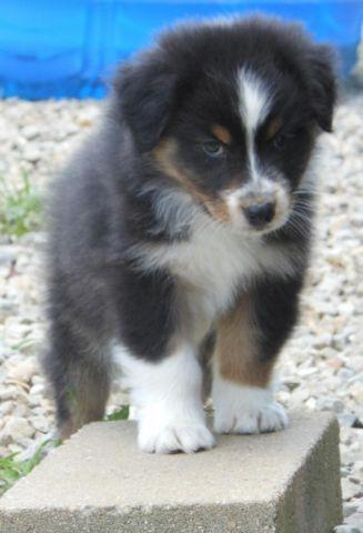 Australian Shepherd puppy black tri male. CH