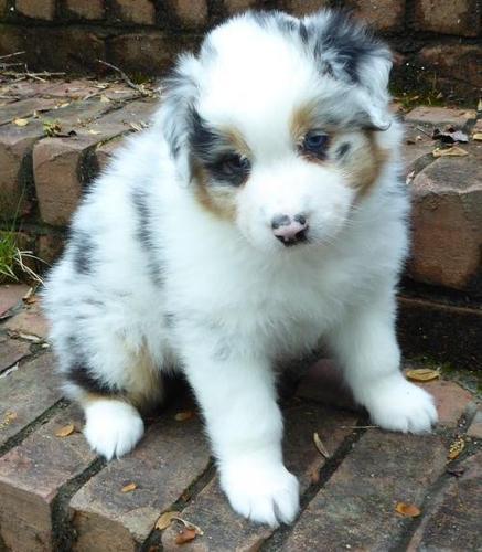 Australian Shepherd Puppy for Sale - Adoption, Rescue ...
