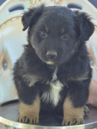 Australian Shepherd Puppy for Sale - Adoption, Rescue for ...