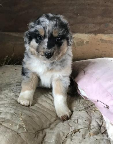 Pets And Animals For Sale In Chariton Iowa Puppy And Kitten