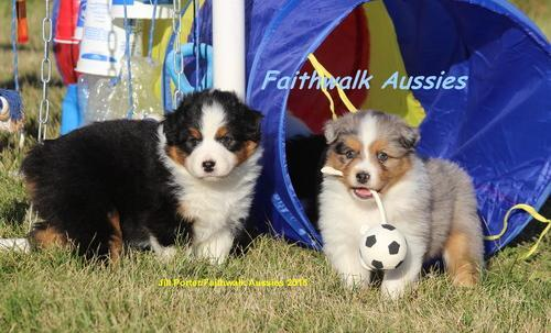 Australian Shepherd Puppy for Sale - Adoption, Rescue for