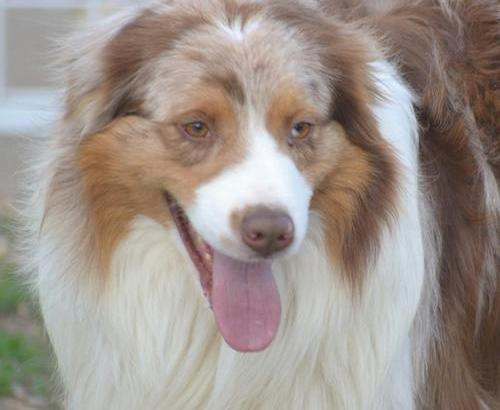 Australian Shepherd Puppy For Sale Adoption Rescue For Sale In