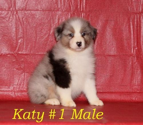 chiweenie puppies for sale in Texas Classifieds & Buy and Sell in