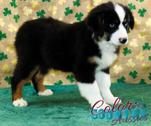 Australian Shepherd Puppy for Sale - Adoption, Rescue