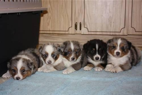 Australian shepherd puppy MINI (Champion