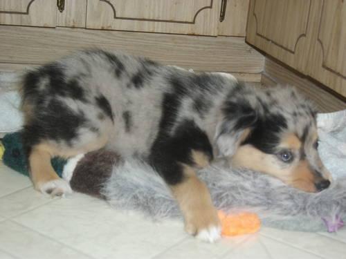 Australian shepherd puppy MINI (Champion