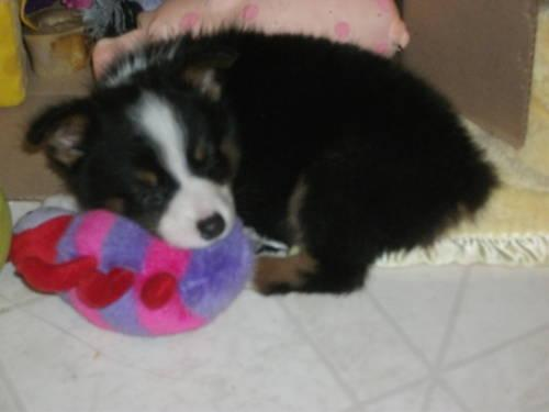 Australian shepherd puppy TOY size black tri girl