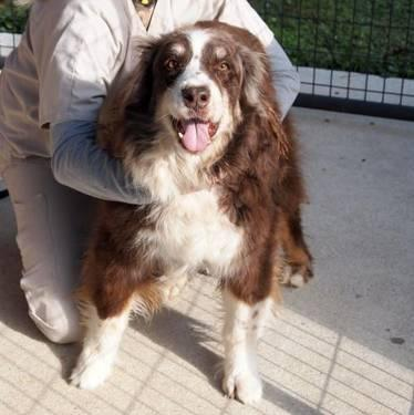 Australian Shepherd - Ralph - Large - Senior - Male -