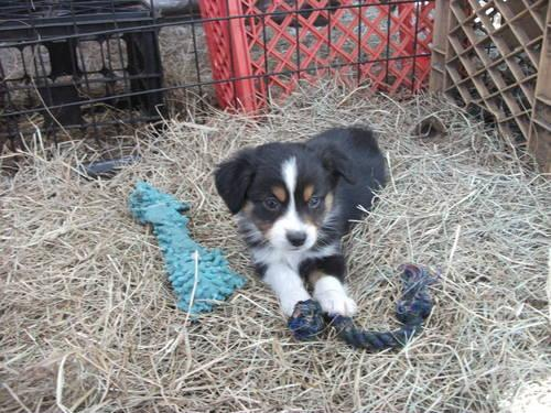 Australian Shepherd(small/minature or toy size) TRI