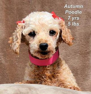Autumn Toy Poodle Adult Female For Sale In Colorado Springs