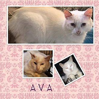 Ava Domestic Shorthair Young Female