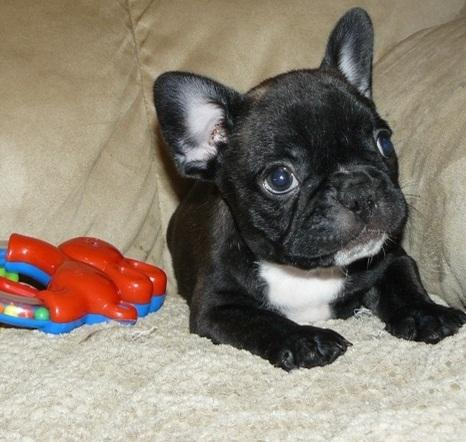 Available Male and Female Blue eyes French Bulldog