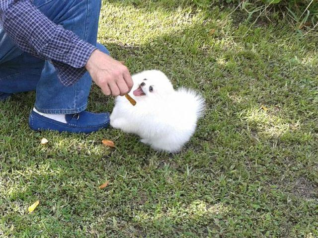 Available pure white pomeranian puppy male , high