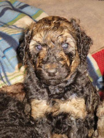 Available Sable Phantom Standard Poodle Female For Sale In