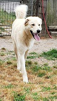 Avalanche Great Pyrenees Young Male