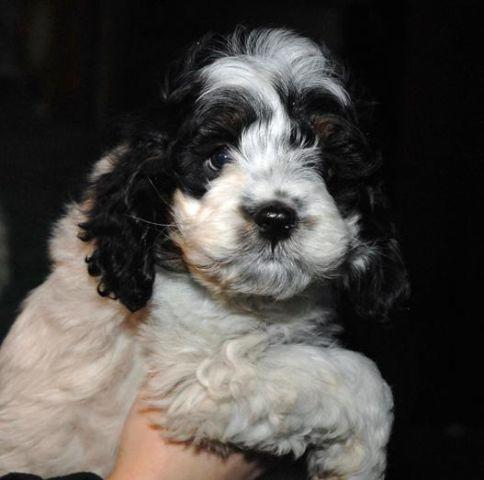 Awesome Cockapoo Baby Boy For Sale In West Alex Ohio Classified Americanlisted Com