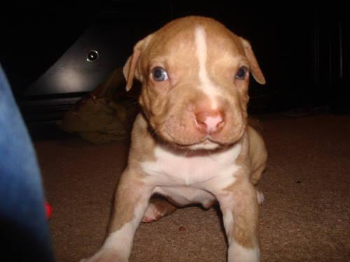 Awesome Pitbull (Rednose/Bully) For Sale for Sale in Baldy ...