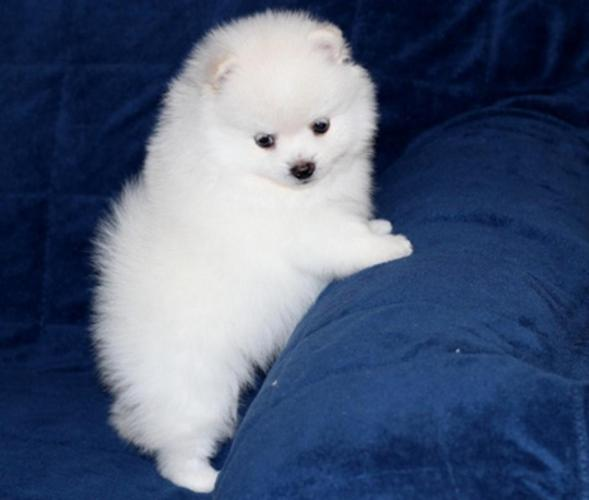 Awesome Registered Tiny Pomeranian Puppies Family