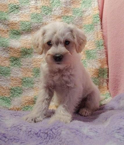 Awesome Schnoodle Puppies For Sale In Arnold Line Mississippi