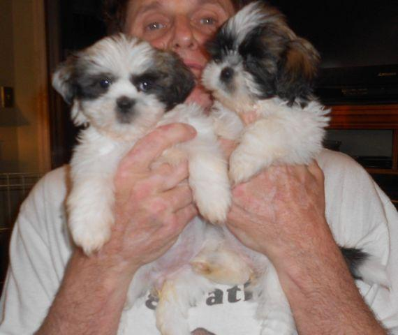 shih tzu breeders in tennessee awesome shih tzu puppies 4 females ckc registered for 7689