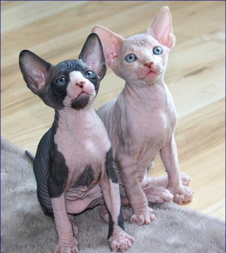 Awesome Sphynx Kittens For good Homes for Sale in Clearwater