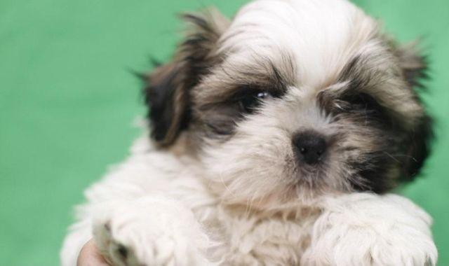 shih tzu puppies for sale in oklahoma awesome teacup shih tzu puppies ready now for new homes 1348